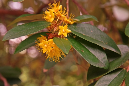 Yellow star flowers, fragrant flower