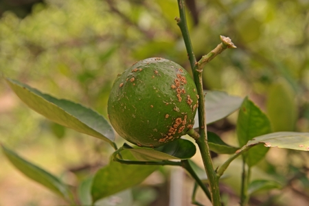 plant disease, citrus canker from bacteria 写真素材