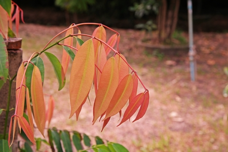 Iron Wood or Ceylon Iron Wood leaves disorder 写真素材