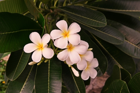 Plumeria plant, its beautiful flower and canopy. 写真素材