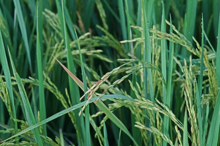 rice panicle, dirty grain disease