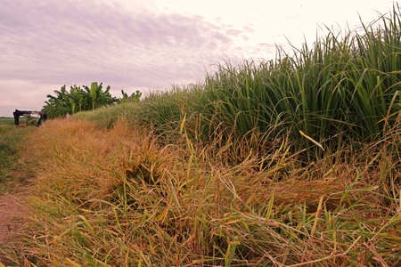 weed control around the production field by using herbicide ,lemongrass field
