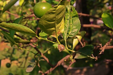 Citrus leafminer ;insect pest