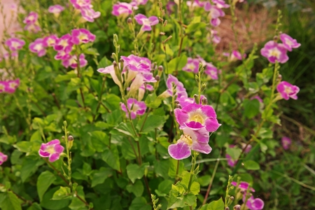 ground cover plant and medical herb with beautiful flowers,Chinese violet or coromandel