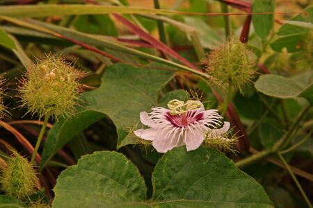 Fetid passionflower, Scarletfruit passionflower a vine fruit and medical herb Stock Photo