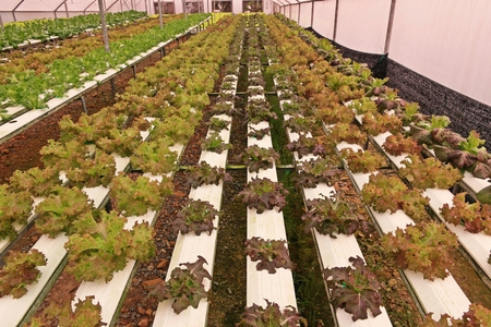 Hydroponic vegetable culture in greenhouse water evaporation, Thailand