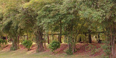 bamboo grow use as windbreak and border. Stock Photo