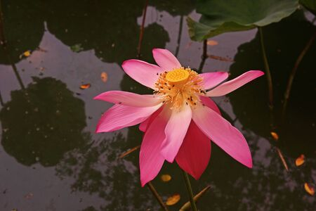 Lotus flower beautiful aquatic plant related to religion stock lotus flower beautiful aquatic plant related to religion stock photo 85769518 mightylinksfo