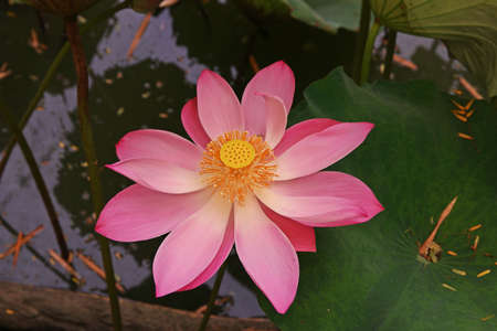 Lotus flower beautiful aquatic plant related to religion stock lotus flower beautiful aquatic plant related to religion stock photo 85660785 mightylinksfo