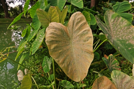mites infestation on elephant ear, a tropical plant grown for edible corms Stock Photo