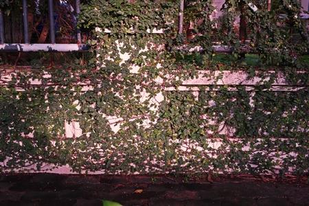Ficus pumila or creeping fig, a vigorous,  evergreen climbing vine