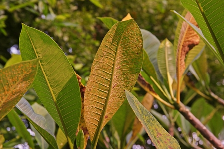plant disease, plumeria leaves disease, rust disease