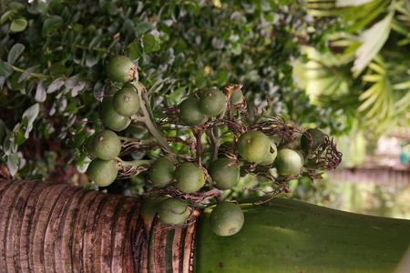 betel nut or areca nut, tropical palm Stock Photo