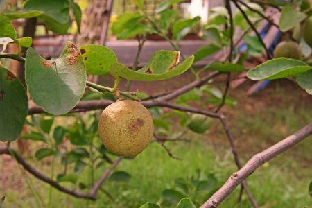 citrus fruit peel disorder from mites