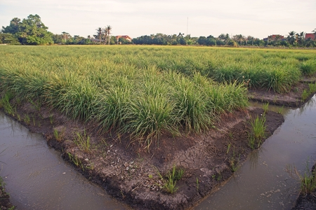 lemongrass production field, low land condition