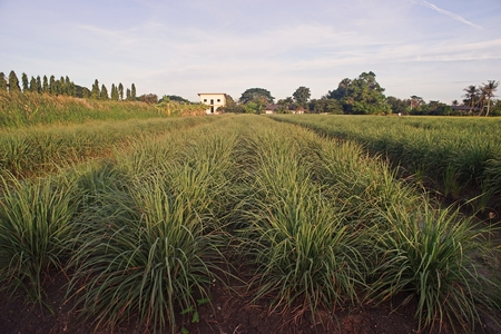 lemongrass production field, low land condition 写真素材 - 107719969