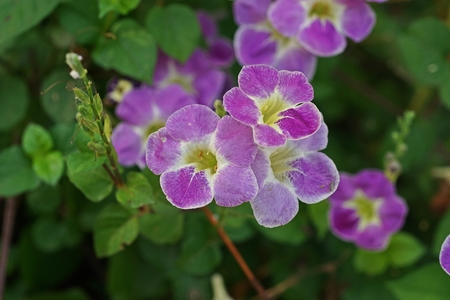 Chinese violet, coromandel or creeping foxglove, ground cover herb plant with beautiful flower 写真素材