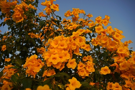 Tecoma stans a species of flowering shrub in the trumpet vine stock photo tecoma stans a species of flowering shrub in the trumpet vine family bignoniaceae common names are yellow trumpet bush yellow bells mightylinksfo