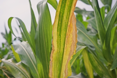 sweetcorn maize major  disease, northern leaf blight
