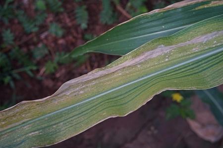 sweetcorn maize major  disease, northern leaf blight