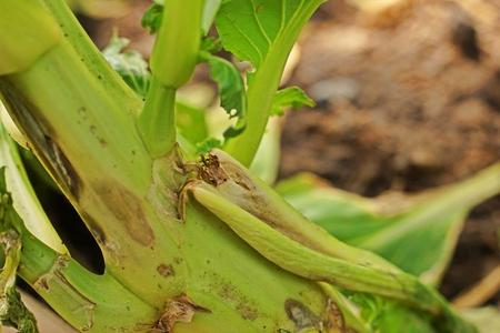 leafy vegetable disease from bacteria, plant disease