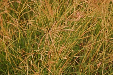 marvel grass or Hindi grass, commonly used as a forage for livestock 写真素材