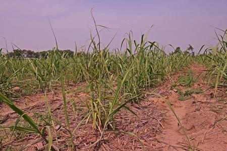 sugarcane smut disease causes by fungus