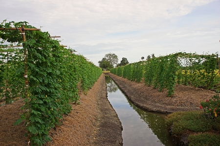 bitterer Kürbis, Weingemüseanbau, Thailand Standard-Bild