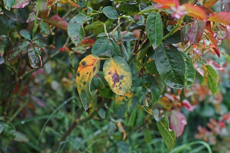 plant disease, fungal leaves spot disease on roses