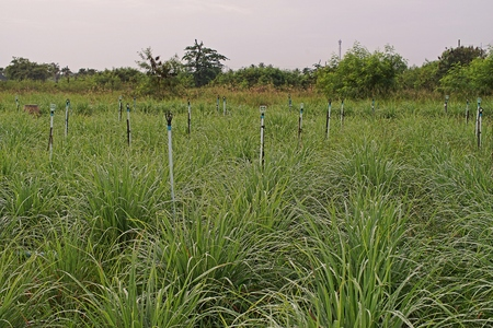 lemongrass field cultivation, herb and food ingredient