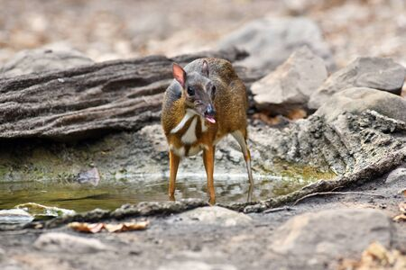 mouse deer feed in summer, natural forest of Thailand