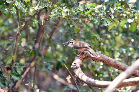 Greater Necklaced Laughingthrush in natural forest
