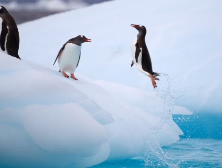 Jumping Gentoo Penguins