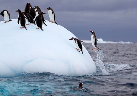 Jumping Gentoo Penguins