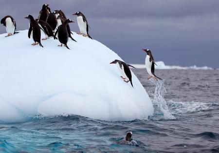 Springen Gentoo Penguins Standard-Bild