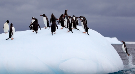 Gentoo Penguin Jumping on to Iceberg
