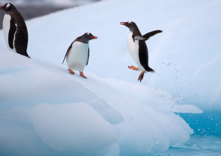 antarctic: Gentoo Penguin Jumping on to Iceberg
