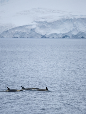 Killer Whales in Antarctic Waters photo