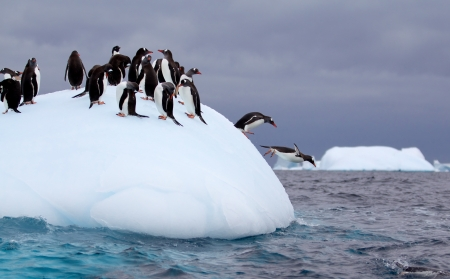 Penguins: Gentoo penguin jumping into water from iceberg