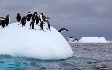 Pinguim-gentoo pulando na água do iceberg