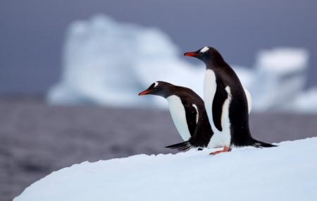 Gentoo Penguins on Iceberg Stock fotó - 23982464