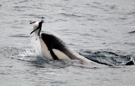 the fittest: Killer Whale Playing with Penguin
