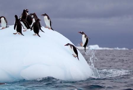 gentoo: Jumping Gentoo Penguin on Iceberg Stock Photo