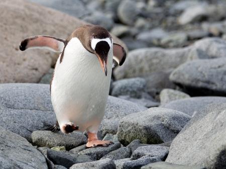 gentoo: Jumping Gentoo Penguin