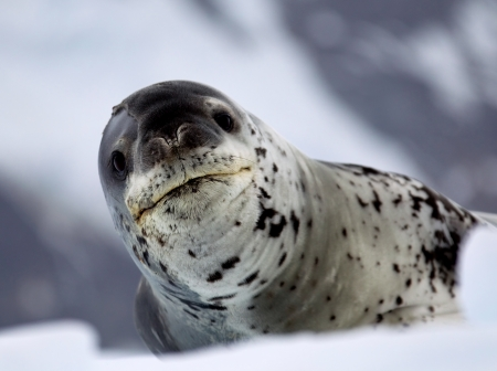 Leopard Seal on Ice Floe Stock fotó