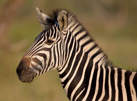 Portrait of a Zebra in Kruger National Park