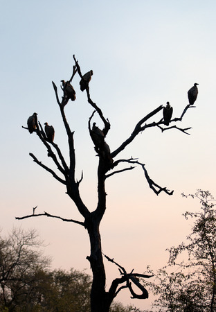 kruger national park: Silhouette of White Backed Vultures Perched in a Tree in Kruger National Park Stock Photo