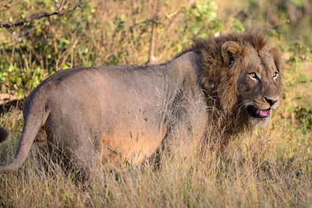 Male Lion stalks prey in Kruger National Park