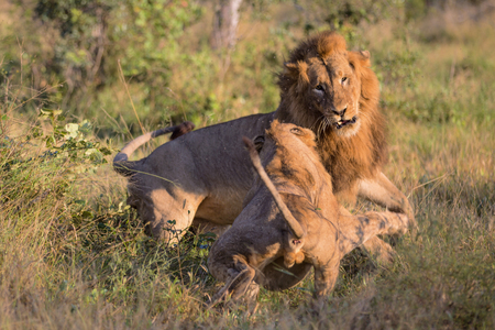Two Male Lions fighting in Kruger National Park Stock fotó