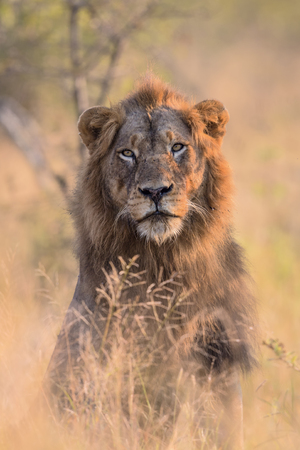 Portrait of a Male Lion in Kruger National Park Stock fotó